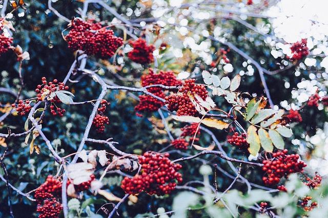 rowan-berries-349880_640